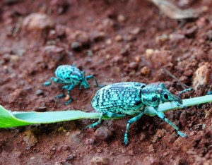 Botany Bay Diamond Weevil - Chrysolopus spectabilis green beetle