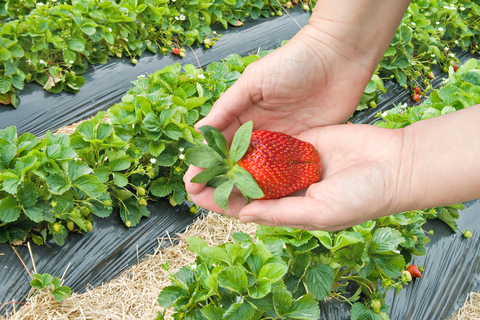 adventurous things to do with kids: picking strawberries