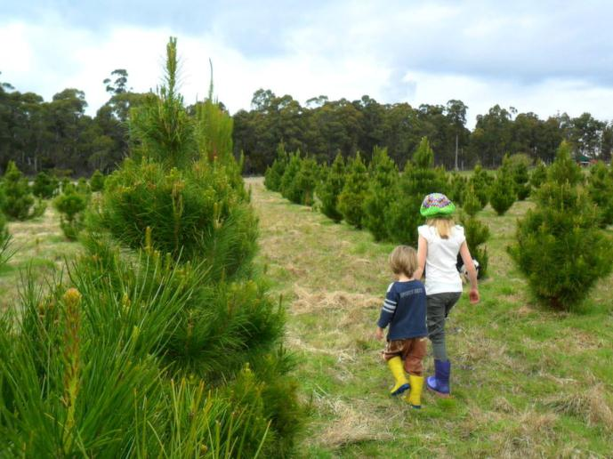 killiecrankie farm -- live Christmas Trees