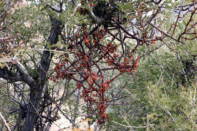 misletoe Phoradendron