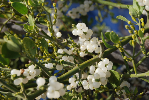mistletoe white