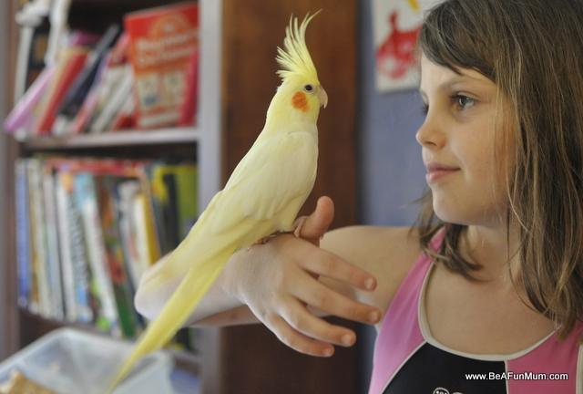 White and Yellow cockatiel pet bird