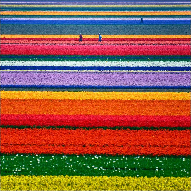 rainbow tulip garden holland