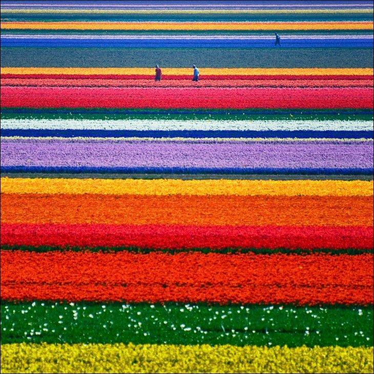 rainbow tulip garden holland