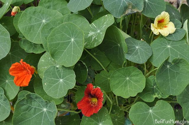 how to plant nasturtiums - jewel mix -- yellow, orange red