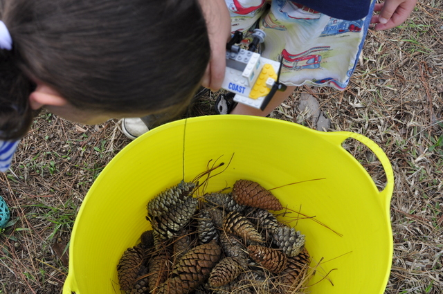 collecting pine cones