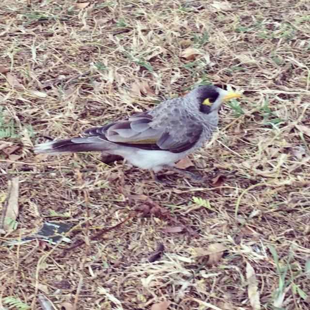 brisbane bird