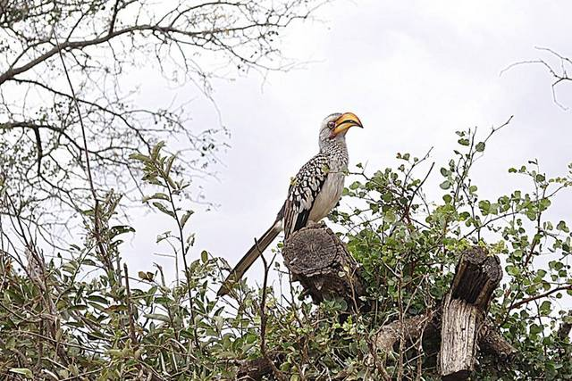 Kruger National Park - South Africa - Yellowbilled Hornbill