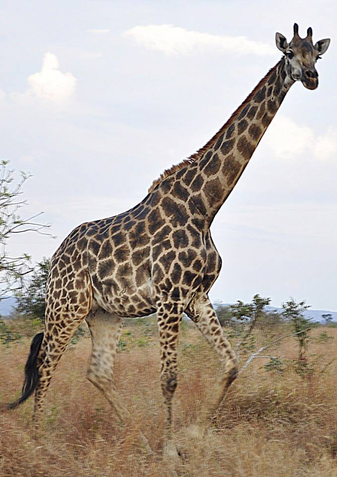 Kruger National Park - South Africa - Giraffe
