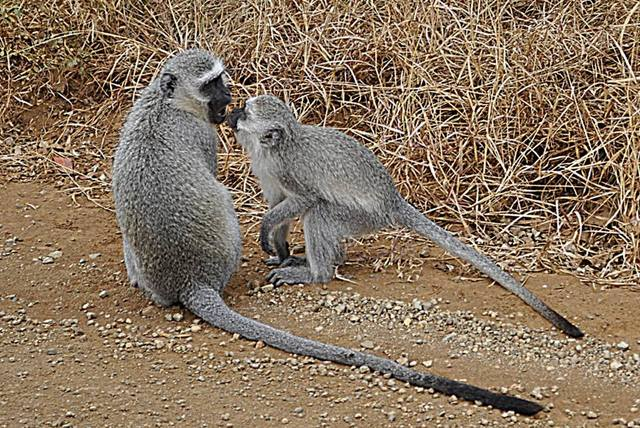 Kruger National Park - South Africa - Vervet Monkey