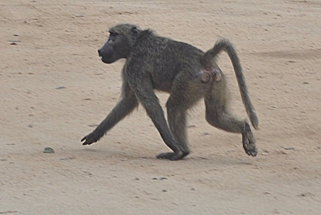 Kruger National Park - South Africa - baboon