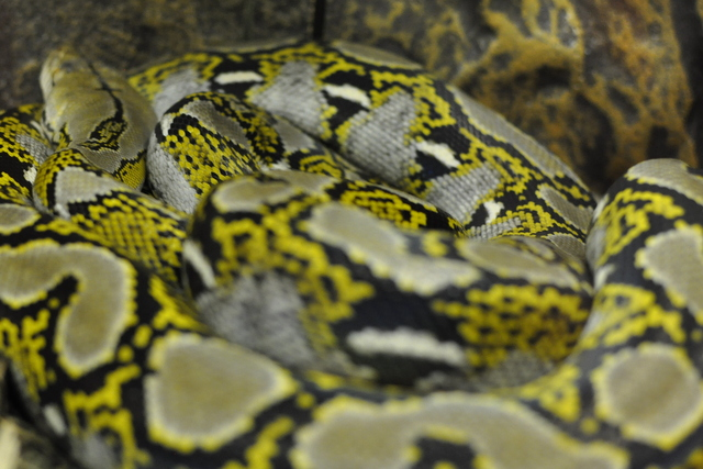 Snakes Downunder - Top End Carpet Python