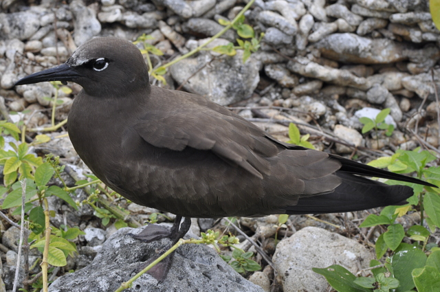 Black Noddy - Lady Elliot Island