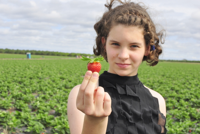 Strawberry picking in Bundaberg