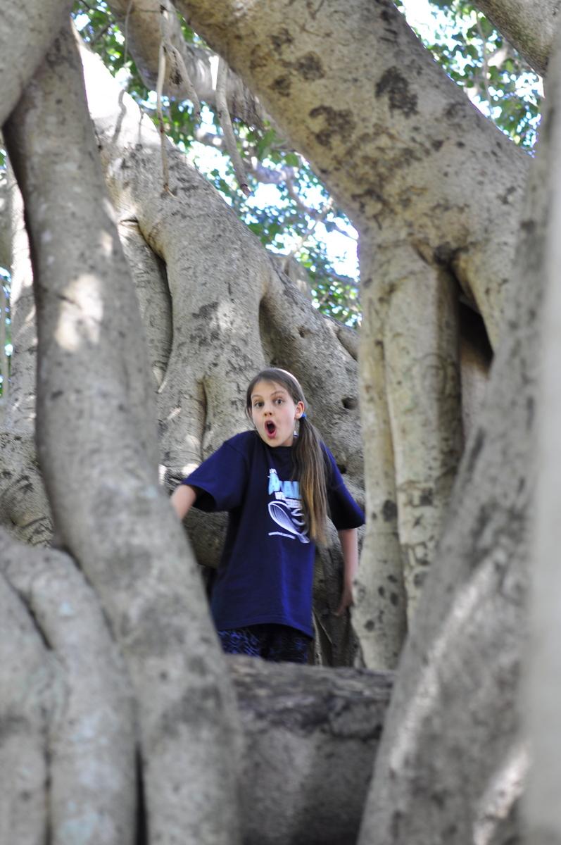 Fig Tree at Queens Park - Maryborough - Fraser Coast - Queensland