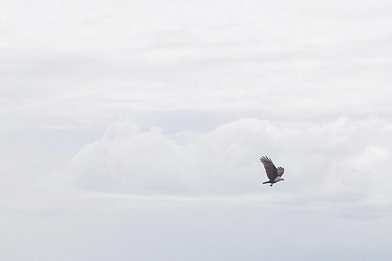 Eagle - Hervey Bay