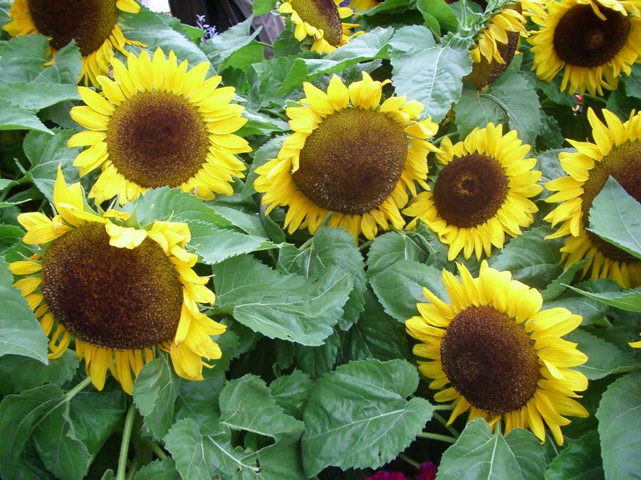 Sunflower-Seed-Bombs-beafunmum.