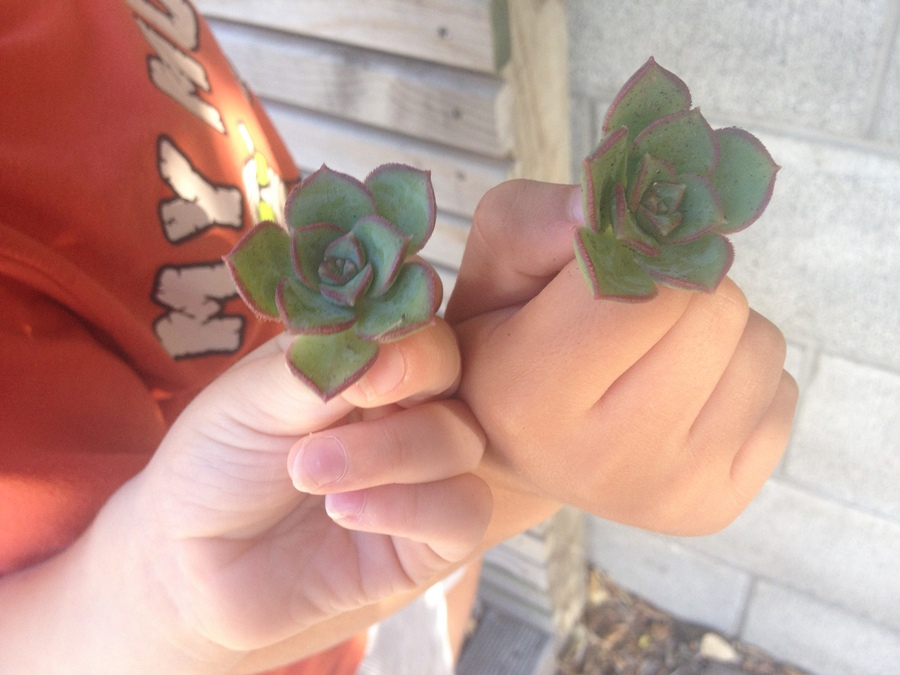 succulents  - replanting