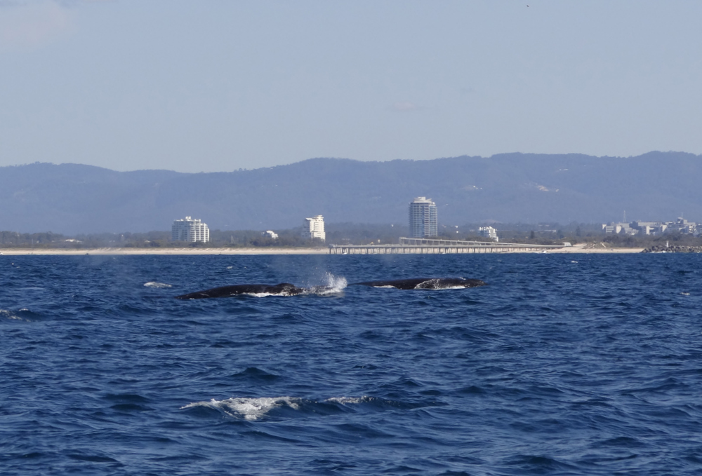 Whale watching - Gold Coast