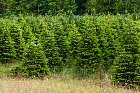 fresh Christmas Trees -- Australia