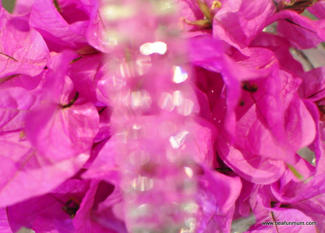 pink / purple bougainvillea