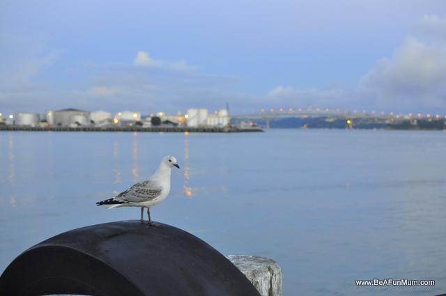 seagull, hilton, auckland