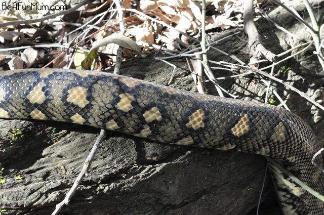 mt gravatt lookout -- carpet snake