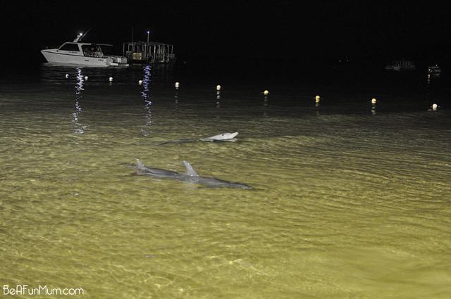 dolphin feeding moreton island