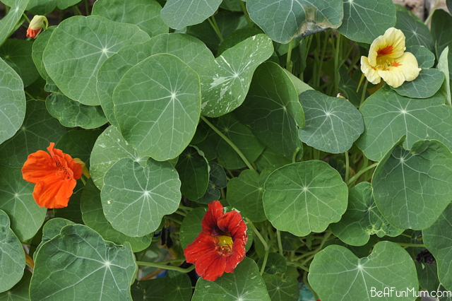 how to plant nasturtiums - jewel mix -- yellow, orange red