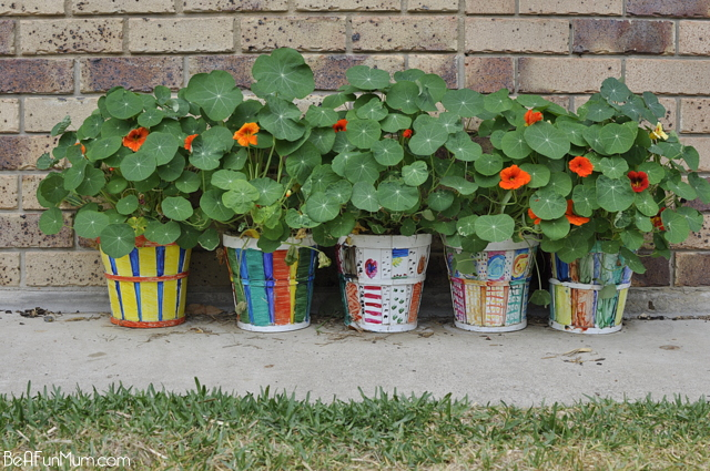 how to plant nasturtiums -- jewel mix -- orange, red and yellow flowers.