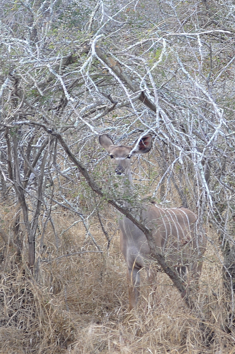 Kruger National Park - South Africa - Kudu