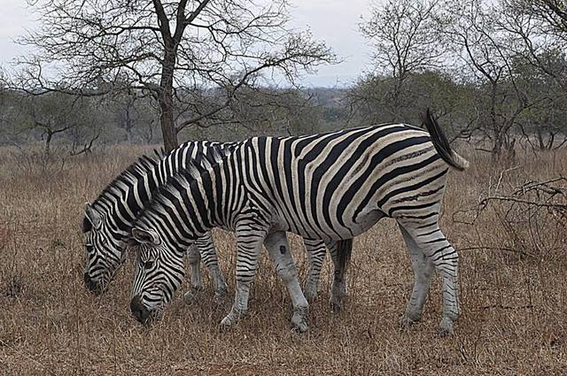 Kruger National Park - South Africa - Zebra