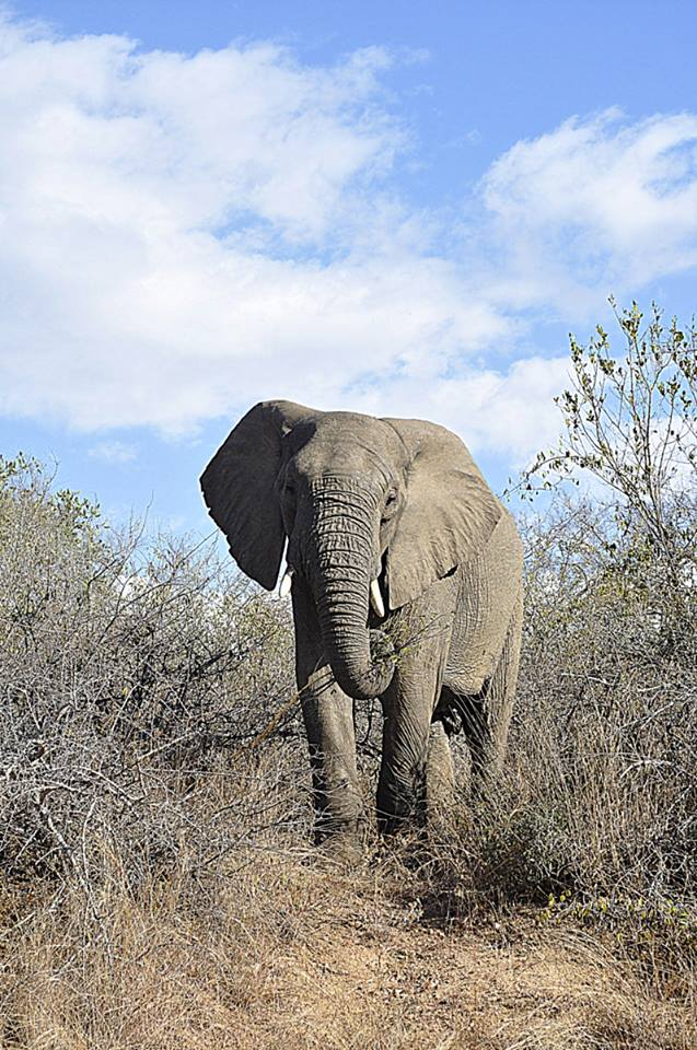 Kruger National Park - South Africa - Elephant