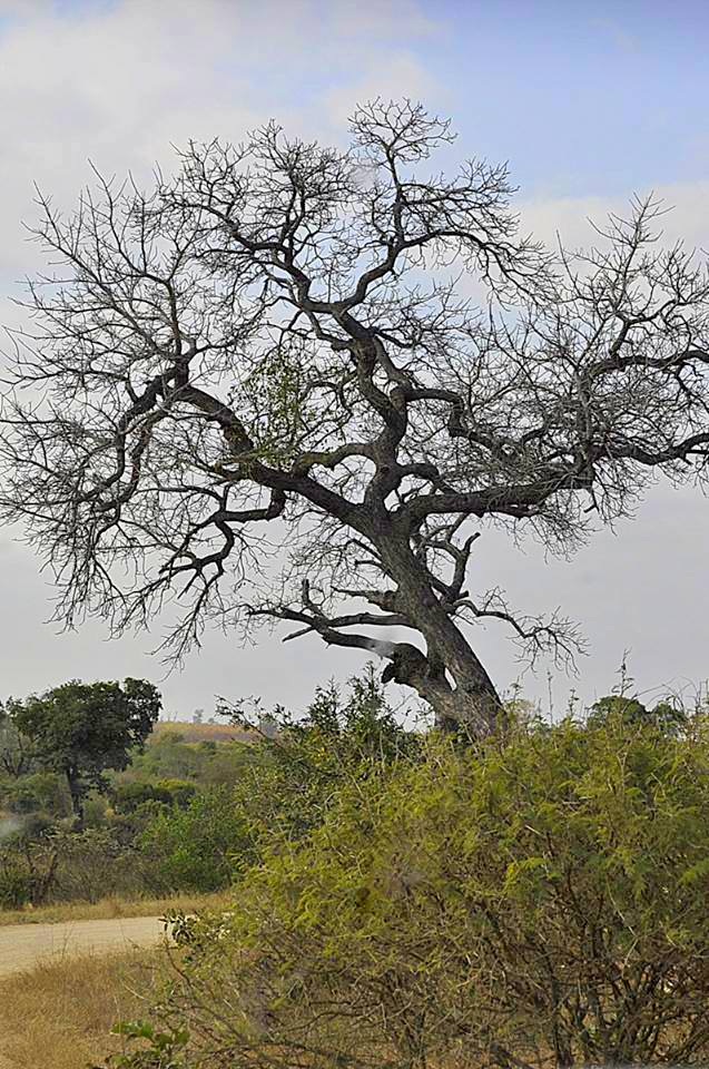 Love heart tree - Kruger National Park - South Africa