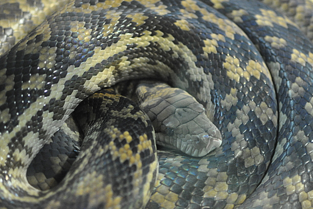 Snakes Downunder - Scrub Python