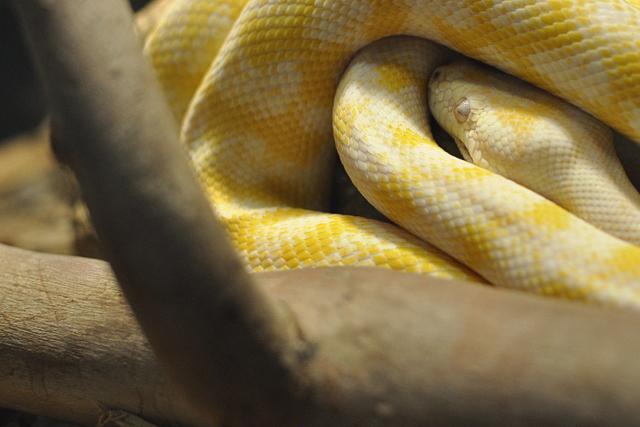 Snakes Downunder - Albino Python