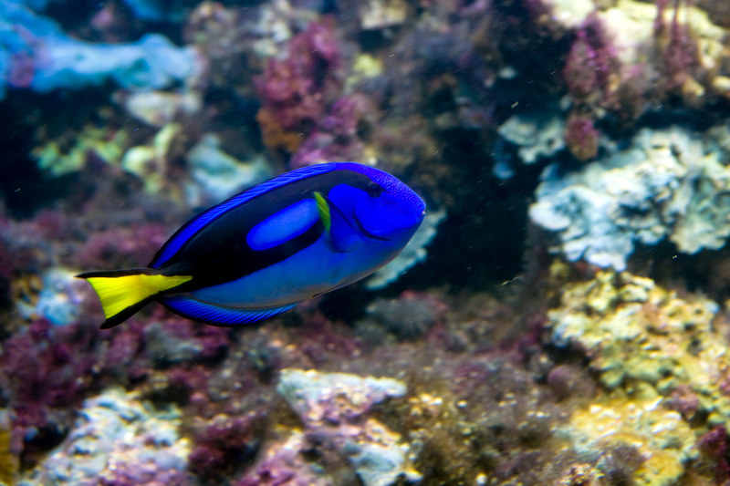 Finding Dory - Blue Tang